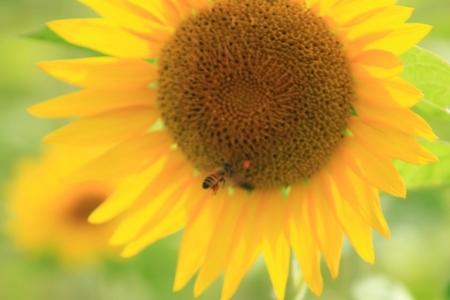 向日葵と蜜蜂.JPG