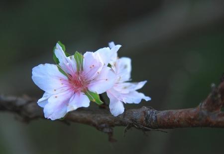 桃の花 (3).JPG