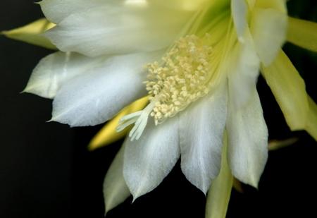 黄色のサボテンの花.JPG