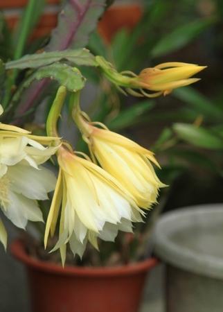 黄色のサボテンの花 (3).JPG