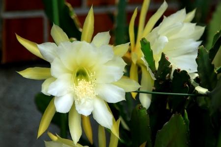 黄色のサボテンの花 (4).JPG